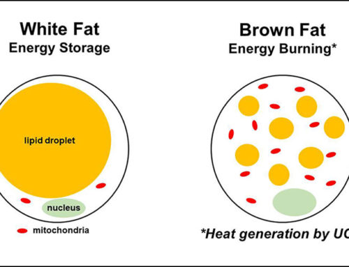 Brown Fat Vs White Fat